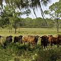 Florida Cracker Cows #3 by Teresa A and Preston S Cole Photography