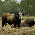 Florida Cracker Cows #4 by Teresa A and Preston S Cole Photography