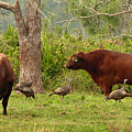 Florida Cracker Cows And Osceola Turkeys #2 by Teresa A and Preston S Cole Photography