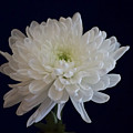 Florida Flowers - White Gerbera Ready For Full Bloom by Ronald Reid