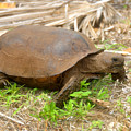 Florida Gopher Tortoise by David Lee Thompson