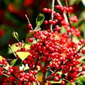 Florida Holly Berry's  by Debra Forand