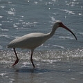 Florida Ibis 2 by Lisa Gabrius