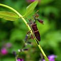 Florida Leaf-footed Bug by Nancy L Marshall