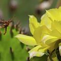 Florida Longhorned Beetle And Cactusflower by Paul Rebmann