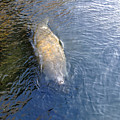 Florida Manatee by David Lee Thompson