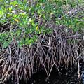 Florida - Mangroves by D Hackett