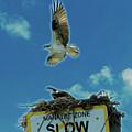Florida Osprey Vamily by Jeff Kurtz