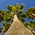 Florida Palms by David Lee Thompson