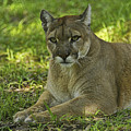 Florida Panther by Keith Lovejoy
