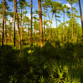 Florida Pine Forest by David Lee Thompson