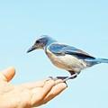 Florida Scrub Jay In Hand by Lynda Dawson-Youngclaus