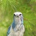 Florida Scrub Jay In Pine by Lynda Dawson-Youngclaus