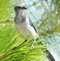 Florida Scrub Jay by Lynda Dawson-Youngclaus