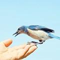 Florida Scrub Jay Takes A Taste by Lynda Dawson-Youngclaus