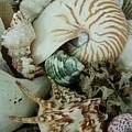 Florida Sea Shells by Florene Welebny