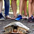 Florida Softshell Turtle 003 by Chris Mercer