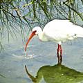 Florida Stork by Francesco Roncone