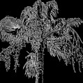 Florida Thatch Palm In Black And White by HH Photography of Florida