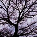 Floss Silk Tree by Amarildo Correa