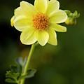 Flower 1 by Marjan Jankovic