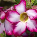 Flower 12 Pink White Yellow by Bob Slitzan