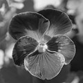 Flower 5 - Black And White by Lee Hart