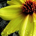 Flower After A Shower by Maria Scarfone