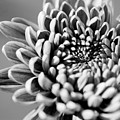 Flower Black And White by Jill Reger