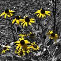 Flower Black Eyed Susan by John Straton