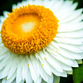 Flower Blossom 3 by Jijo George