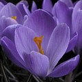 Flower Crocus by Nancy Griswold