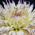 Flower Dahlia. Macro by Sergei Dolgov