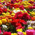 Flower Field by Patrick Frei
