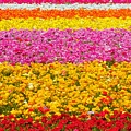 Flower Fields Carlsbad Ca Giant Ranunculus by Christine Till