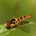 Flower Fly Allograpta Obliqua by Clarence Holmes