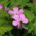 Flower Fly On Stinky Bob by Marv Vandehey