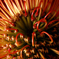 Flower Hawaiian Protea by Nancy Griswold