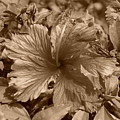 Flower In Sepia by Rob Hans