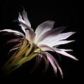 Flower Of Cactus by Mitko  Peroski