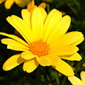 Flower Of Sunshine by JoAnne Burgess
