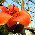 Flower Of The Red Silk Cotton Tree  by Yali Shi