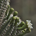 Flower Of The Saguaro by HW Kateley