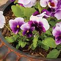 Flower - Pansy - Purple Pansies by Mike Savad