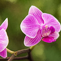 Flower - Pink Orchids by Sharon McConnell