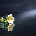 Flower Reflection by Steve Somerville
