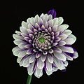 Flower Rhythm 1 by Robert Ullmann