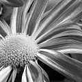 Flower Run Through It Black And White by James BO  Insogna