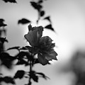 Flower Silhouette by Todd Blanchard