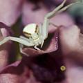 Flower Spider by Robert Potts